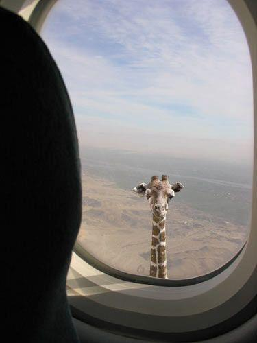 Girafe Airliner